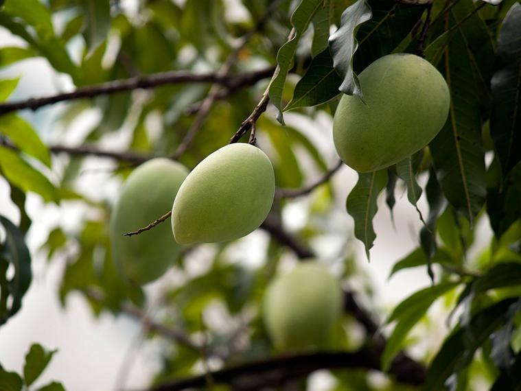 Mango crop